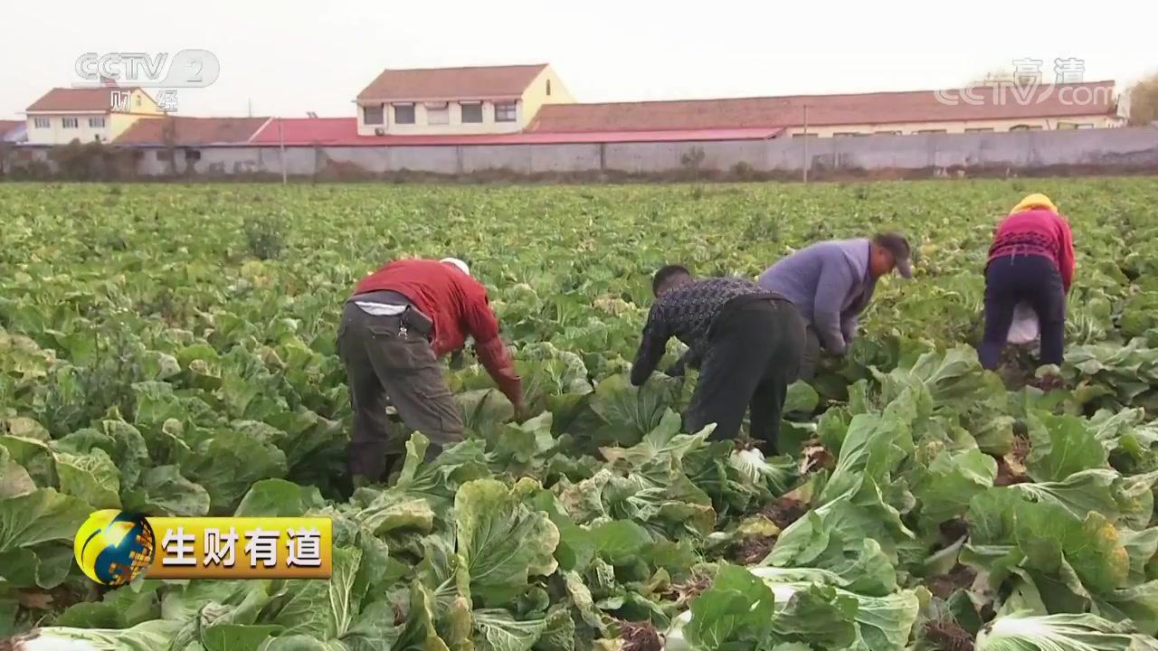 山东胶州:致富靠双手 白菜变百财